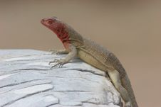 Lava Lizard Stock Images