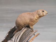 Free Marmot Royalty Free Stock Images - 1696459