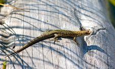 Free Lizard Royalty Free Stock Image - 1696806