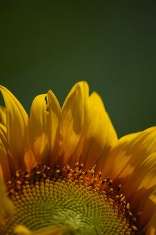 Free Sunflower Stock Image - 1697121