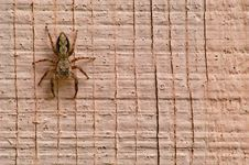 Wall Spider Royalty Free Stock Photography