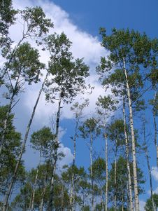 Free Birches Stock Image - 1698481