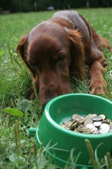 Setter (dog) With Money Stock Images