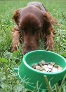 Setter (dog) With Money Royalty Free Stock Images