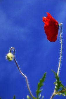 Free Poppy Flower Stock Photo - 1699290