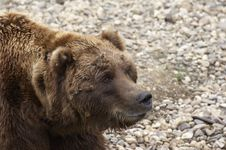 Free Grizzly Royalty Free Stock Photography - 1699377