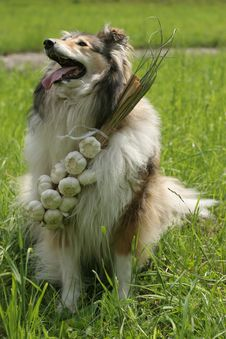 Free Collie (dog) With Garlic Stock Image - 1699491