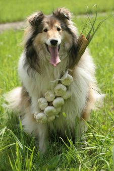 Free Collie (dog) With Garlic Stock Photography - 1699542