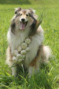Free Collie (dog) With Garlic Stock Images - 1699584