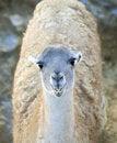 Free Young Llama Royalty Free Stock Photo - 16906095