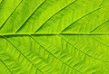 Free Leaf Texture Royalty Free Stock Photography - 16908377