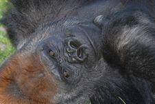 Free Silverback Gorilla Royalty Free Stock Photo - 16900715