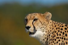 Free Cheetah Prowl Royalty Free Stock Images - 16900729