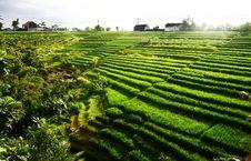 Beautifull Rice Field Royalty Free Stock Photo