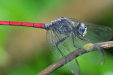 Free Red Tail Dragonfly Stock Photo - 16902320