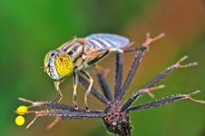 Free Honey Bee Royalty Free Stock Photography - 16902537