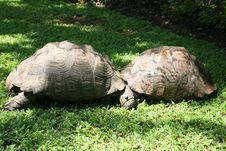 Free Territorial Tortoises Stock Photography - 16904372