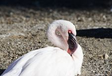Free Lesser Flamingo Royalty Free Stock Photos - 16905968