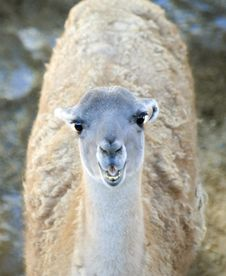 Free Young Llama Royalty Free Stock Photo - 16906095