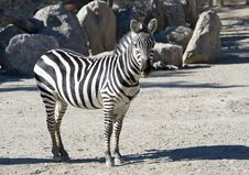 Free Zebra Closeup Royalty Free Stock Images - 16906409