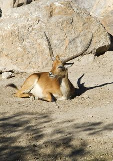 Free Gazelle Sitting Royalty Free Stock Photo - 16906925