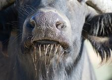 Free Close Up African Buffalo Royalty Free Stock Images - 16907059