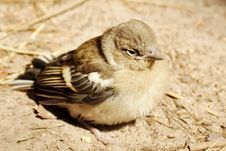 Free Baby Bird Of A Sparrow Stock Image - 16907371