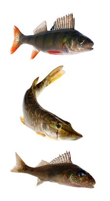 Free Three Isolated Fishes Royalty Free Stock Photos - 16907808