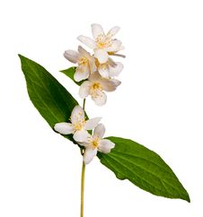 Free Isolated Single Jasmine Branch Stock Photos - 16907813