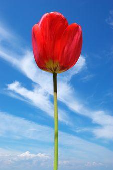 Tulip On Sky Background. Royalty Free Stock Photos