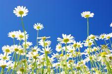 Free White Daisies Royalty Free Stock Photography - 16908317