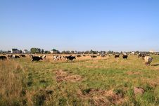 Free Cows On Pasture Royalty Free Stock Image - 16908546