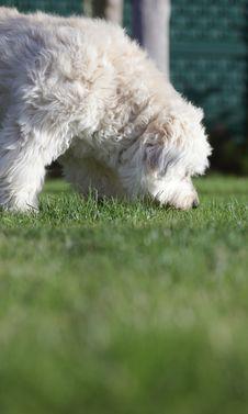 Free White Dog Royalty Free Stock Photo - 16909675