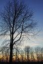 Free Silhouette Tree Stock Image - 16910821