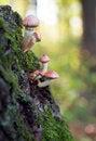 Free Mushroom Amanita Royalty Free Stock Photography - 16911887