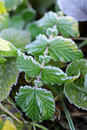 Free Frozen Leaf Royalty Free Stock Photos - 16911918