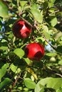 Free Red Apples On A Branch Of Tree Stock Images - 16912484
