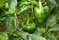 Free Green Pepper Royalty Free Stock Image - 16916956