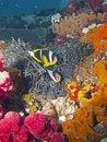 Free Twobar Anemone Fish Stock Image - 16917631