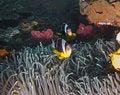 Free Twobar Anemone Fish Royalty Free Stock Image - 16917726
