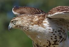 Free Red-Tailed Hawk Stock Image - 16910221