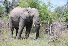 Free Elephant Royalty Free Stock Image - 16911406