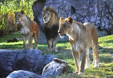 Free Hungry Lions At A Park Royalty Free Stock Image - 16912316