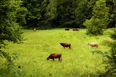 Free A Herd Of Cows Grazing On A Meadow Royalty Free Stock Image - 16913476