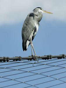 Free Heron Royalty Free Stock Images - 16913999