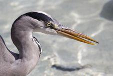 Free Heron Royalty Free Stock Photo - 16914175