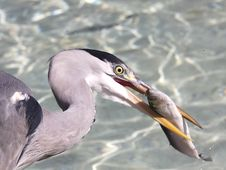 Free Heron Stock Photos - 16914263