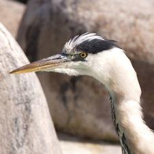 Free Heron Stock Image - 16914291