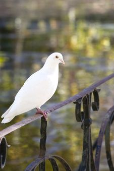 Free Dove Standing On A Classic Metal Railing Royalty Free Stock Images - 16915419