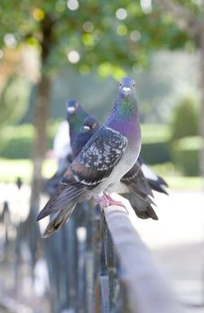 Free Pigeons Standing On A Classic Metal Railing Royalty Free Stock Photos - 16915428